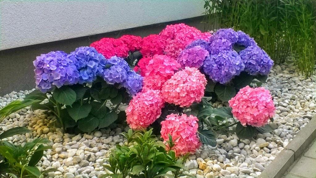 Veszprém hortenzia ültetés